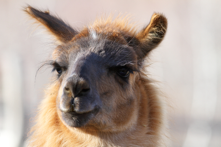 lama glama   spitting llama   looking at the camera, image made on a tame domesticated animal photo