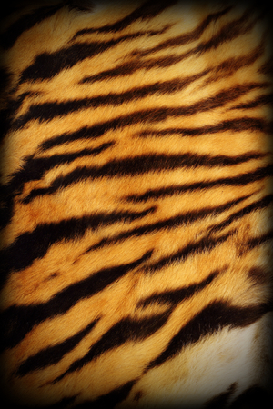 detail of real tiger textured pelt with added vignette, natural pattern photo