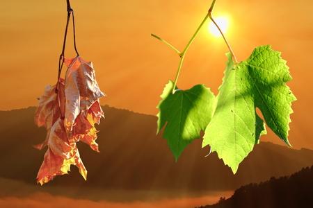 etapas de vida: dos etapas de la vida en las hojas de vi�edo, tel�n de fondo natural del amanecer sobre las colinas Foto de archivo