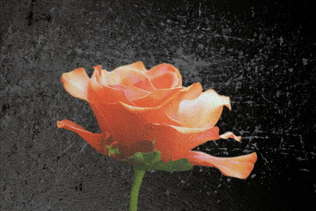 beautiful red rose flower over dark background,  abstract scratched layer over the image photo