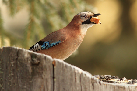 swallowing: european common jay   garullus glandarius   swallowing white bread on stump feeder
