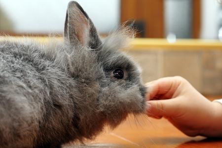 child hand feeding little baby fluffy rabbit