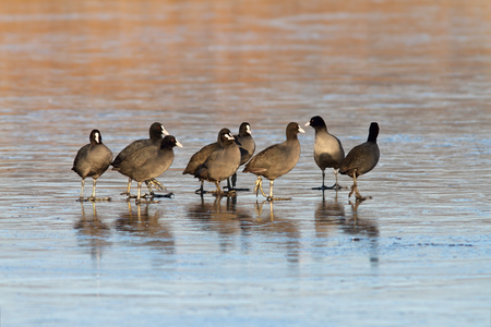 group of coots   fulica atra   standing together on icy lake photo
