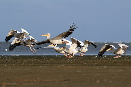 flock of great pelicans   pelecanus onocrotalus   taking flight from the beach photo