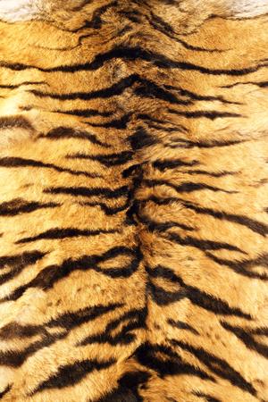 tiger skin: black stripes  tiger pelt, real fur texture on animal