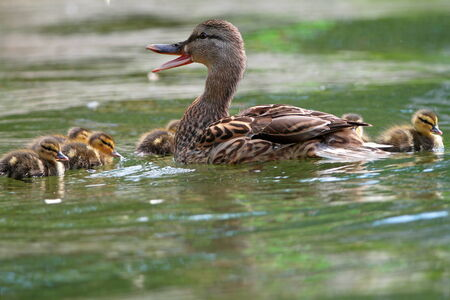 female mallard duck quacking   anas platyrhtnchos   with small cute ducklings on lake surface photo