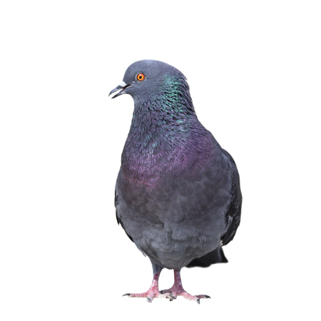 feral: male feral pigeon   columba livia   isolated over white background