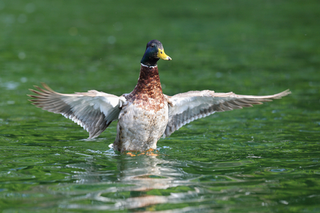 wild duck   male mallard, anas platyrhynchos   spreading wings on water surface photo