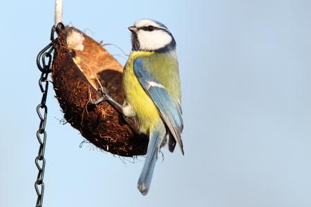hungry blue tit   parus caeruleus   standing  on hanging lard feeder Stock Photo