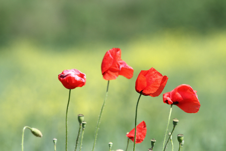 group of wild poppies   papaver rhoeas   growing in natural meadow photo