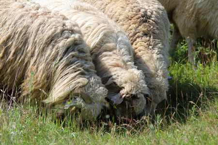 herd of white sheep grazing in the field photo