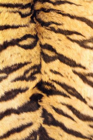 natural real model of stripes on tiger fur