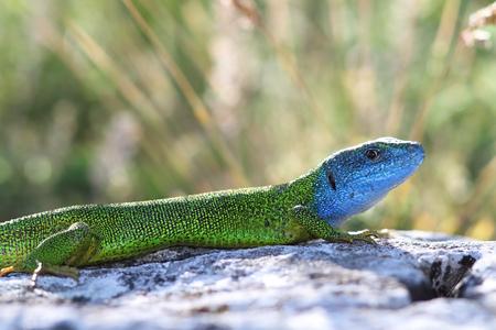 lacerta viridis: beautiful colored male european green lizard in mating season   lacerta viridis