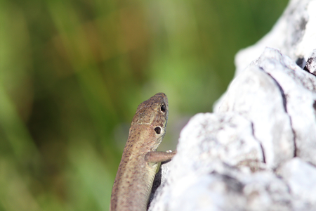 lacerta viridis: juvenile lacerta viridis   european green lizard   basking on limestone rock