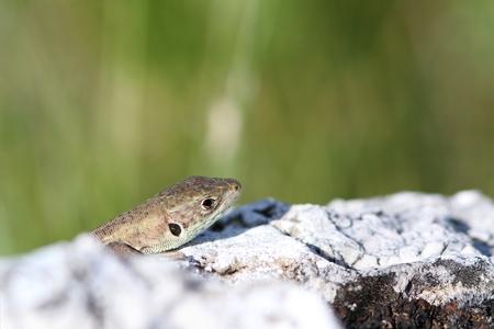lacerta viridis: juvenile lacerta viridis   european green lizard   hiding behind limestone rock Stock Photo