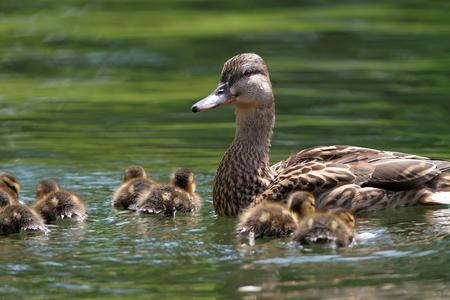 female mallard duck: mother duck   mallard duck, anas platyrhynchos   with ducklings swimming on lake surface Stock Photo