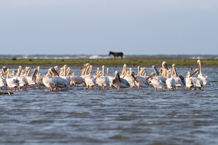 Flock great pelicans   pelecanus onocrotalus   standing together  in shallow water  This image was taken on Sahalin island, near Sfantu Gheorghe, Romania   photo