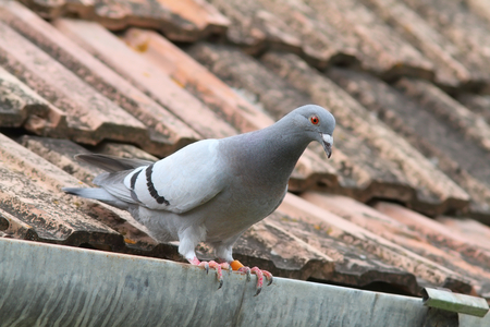 bird life: beautiful purebreed pigeon standing  on roof of the house