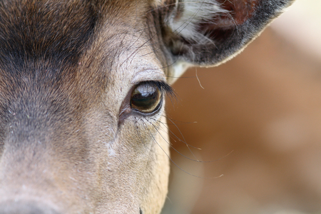 close up on eye of a fallow deer   dama   photo