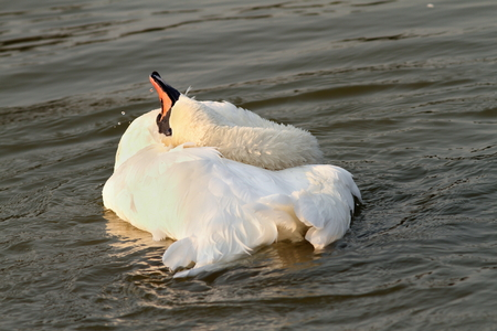 beautiful mute swan (Cygnus olor) playing on water at sunset photo