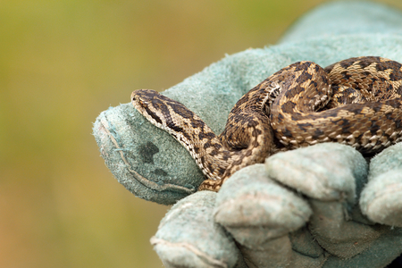 venom: beautiful meadow viper, the elusive Vipera ursinii rakosiensis, wild specimen; you can see a venom drop on the glove