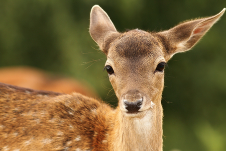 fallow deer calf ( Dama ) portrait while looking at camera Stock Photo