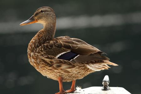 female mallard duck ( anas platyrhynchos ) standing on a boat