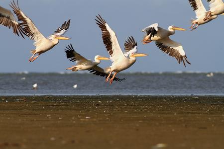 flock of great pelicans in flight over sea photo