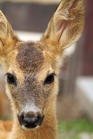 Portret van een jonge reeën kalf (Capreolus) in de dierentuin Stockfoto - 32727106