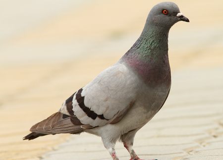 feral: feral pigeon standing  on urban street, selective focus