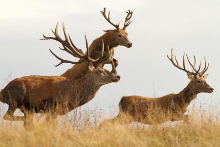 red deers ( Cervus elaphus ) on a wild run, one in the air photo