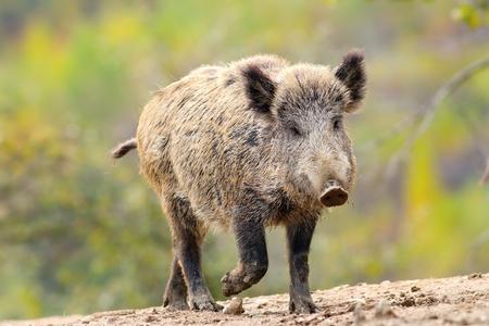 scrofa: wild boar ( Sus scrofa ) coming towards camera
