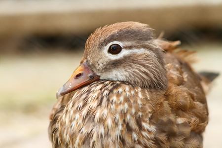 aix galericulata: portrait of a captive female mandarin duck ( Aix galericulata )