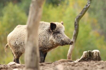 scrofa: big wild boar ( Sus scrofa ) standing on clearing