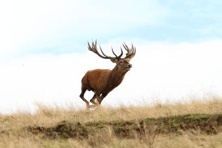 cervus: male red deer ( Cervus elaphus ) running wild