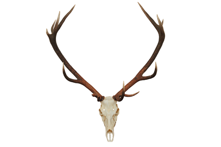 beautiful red deer hunting trophy ( Cervus elaphus ), isolated over white background photo