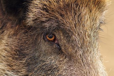 scrofa: face closeup of a wild boar ( Sus scrofa )