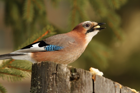 hungry eurasian jay ( Garrulus glandarius ), hungry bird eating pieces of bread on a stump photo