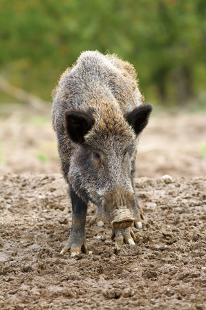 wild boar at a hunting farm ( Sus scrofa ) photo