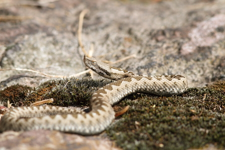 enzymes: closeup of a young european sand viper ( Vipera ammodytes ) Stock Photo