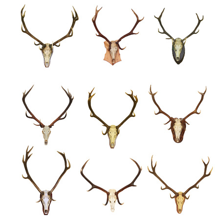 elaphus: collection of red deer hunting trophies ( Cervus Elaphus ), beautiful bucks, isolation over white background
