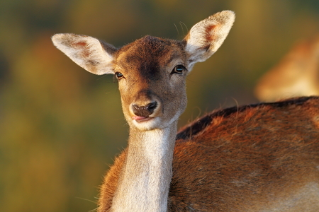 mitigated: fallow deer doe portrait looking at camera ( Dama ) over out of focus background