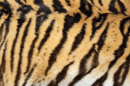 hunted: beauty of real tiger fur, texture of pelt on hunted animal
