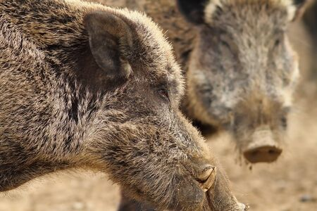 scrofa: close up of large wild boar male with big tusks ( Sus scrofa )