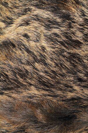 scrofa: detail on wild boar pelt ( Sus scrofa )