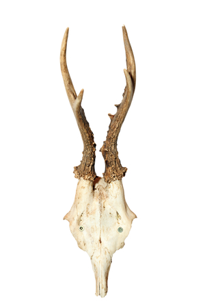 capreolus: roebuck ( Capreolus ) hunting trophy isolated over white