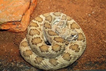serpiente de cascabel: peregrino de cascabel occidental en terrario (Crotalus viridis)