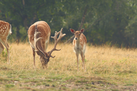 clearing: herd of fallow deers ( Dama ) grazing in clearing