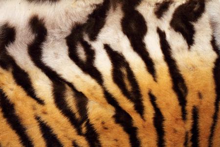 tiger skin: natural pattern on tiger fur, real texture of feline pelt