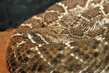serpiente de cascabel: serpiente de cascabel diamante del oeste empujando su patr�n de camuflaje en la piel en un terrario